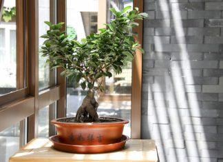 Czy kupić drzewko bonsai do domu?