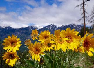 Arnika Montana – uniwersalne panaceum